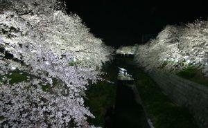 山崎川 四季の道桜