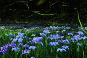 しらさぎ森林公園花菖蒲