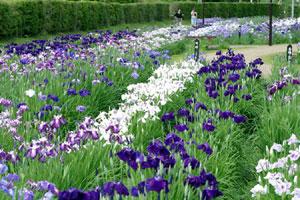 南方花菖蒲の郷公園