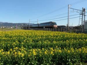 東栢山の菜の花まつり