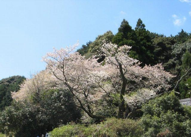 伊万里市 明星桜