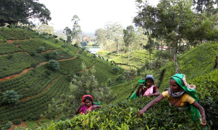 スリランカの茶摘みの風景