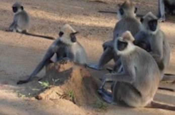 シギリヤの猿の画像
