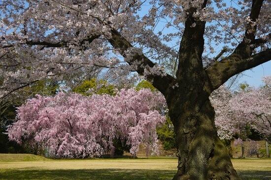 20150216-285-16-kyoto-Cherry-blossoms