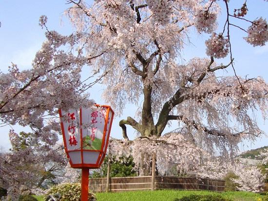 20150216-285-17-kyoto-Cherry-blossoms