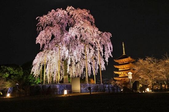 20150216-285-22-kyoto-Cherry-blossoms