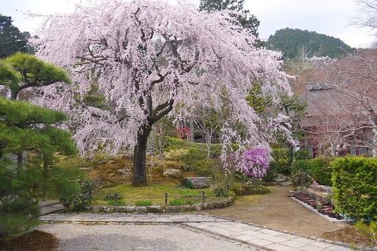 20150216-285-29-kyoto-Cherry-blossoms