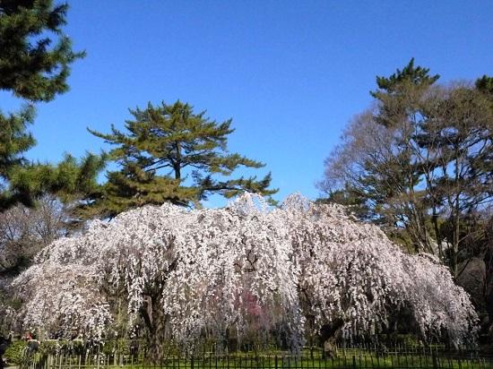 20150216-285-3-kyoto-Cherry-blossoms