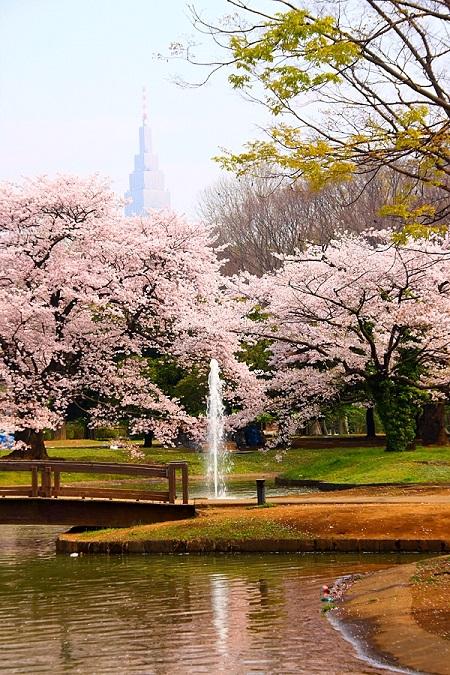 20150220-289-4-tokyo-Cherry-blossoms