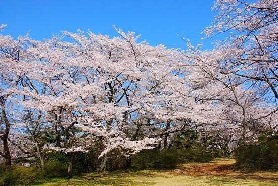 20150220-289-49-tokyo-Cherry-blossoms