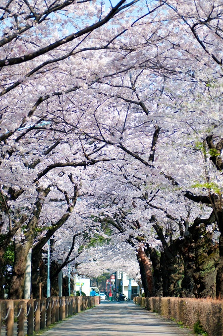 20150220-289-6-tokyo-Cherry-blossoms
