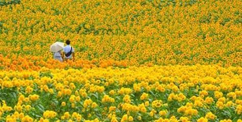黄色い絶景を見に行こう!この夏行きたい、ひまわり畑の名所7選。