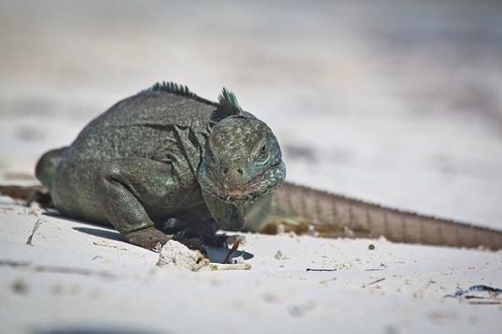 Rock Iguana #2