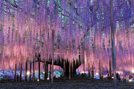 20160320-674-8-ashikaga flower park