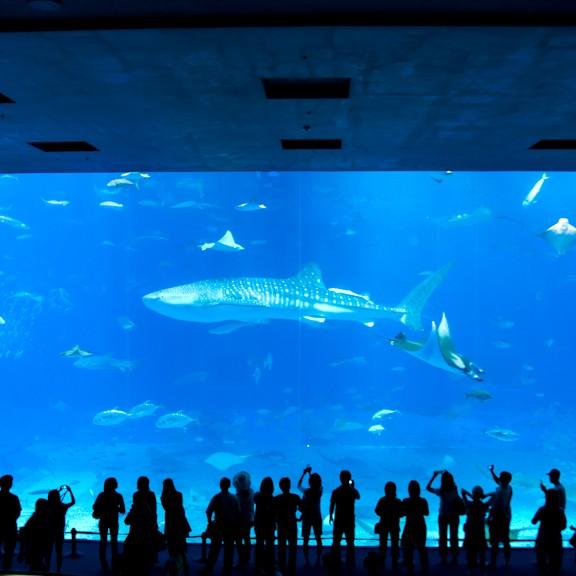 美ら海水族館のじんべいザメ