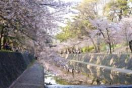 夙川 Hanami Shukugawa