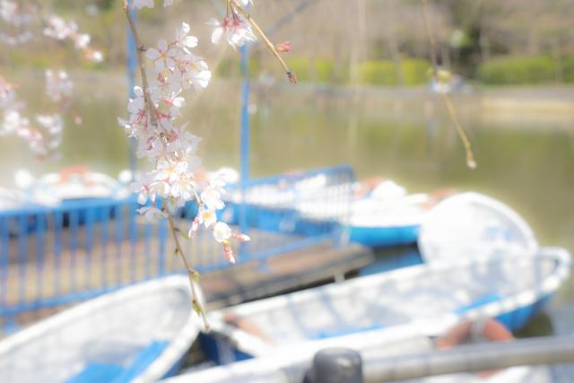 千葉公園でお花見!場所取りするなら何時から?駐車場の混雑状況も。