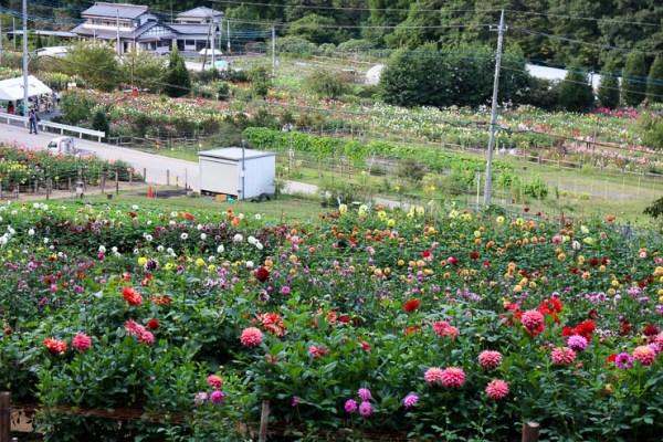 両神山麓花の郷ダリア園