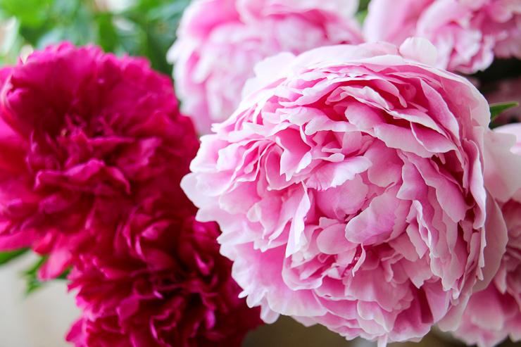 芍薬(シャクヤク)の育て方。秋に植え付けて初夏に豪華な花を楽しもう、の巻