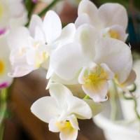 ミニ胡蝶蘭の育て方。置き場所や植え替えのポイント