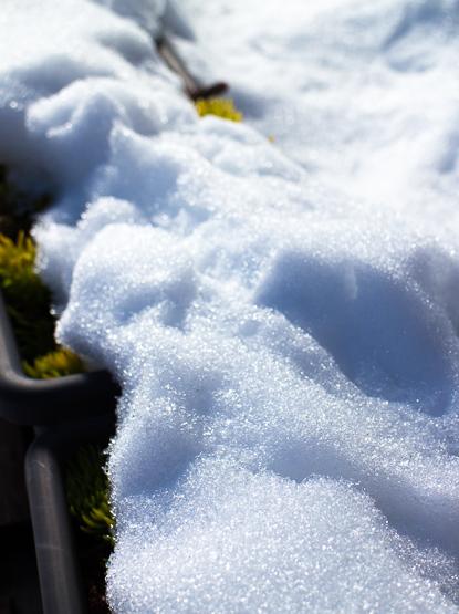 雪をかぶったセダム