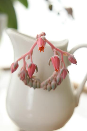 エケベリア・ホワイトゴーストの花