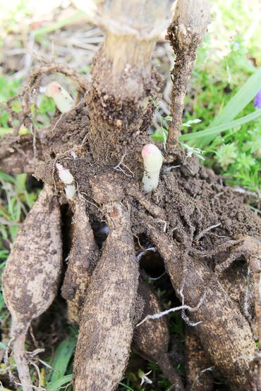 ダリアの球根 塊根