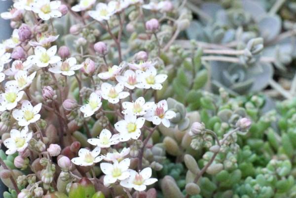 パープルヘイズの花