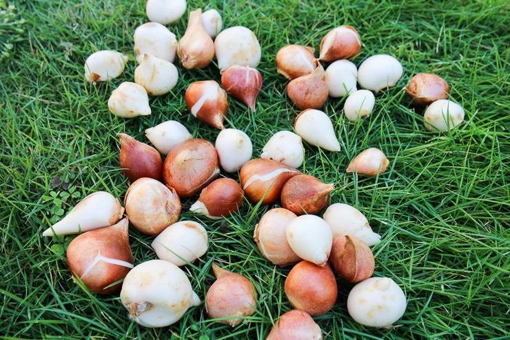 チューリップ 球根 保存