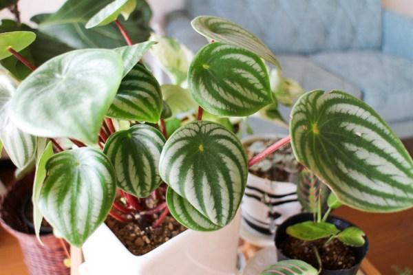 スイカペペロミア 観葉植物