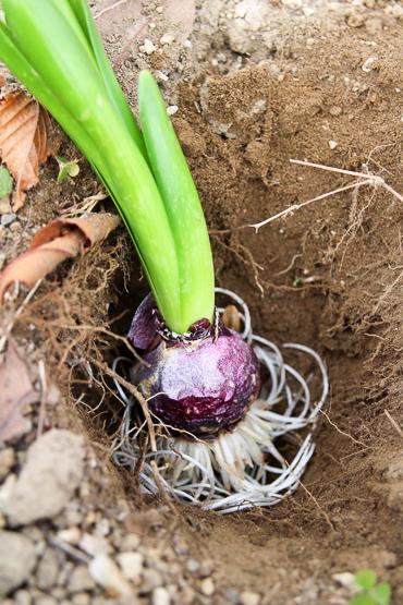 ヒヤシンス 水栽培後 球根 植え付け