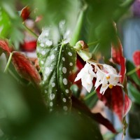 ベゴニア・マクラータの育て方。水玉模様の葉が美しく夏には花も楽しめます