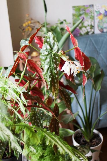 ベゴニアマクラータ開花