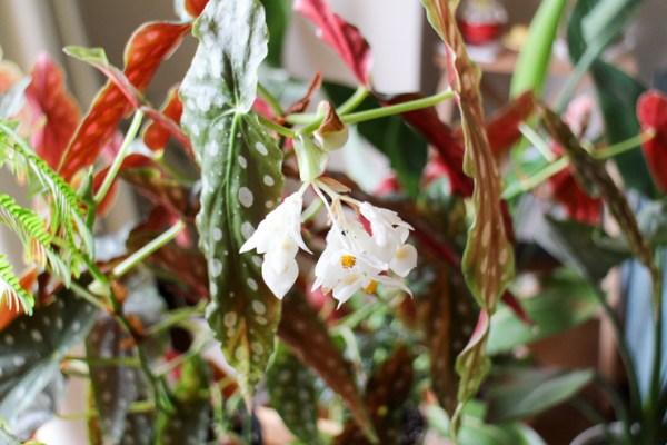 ベゴニアマクラータの花