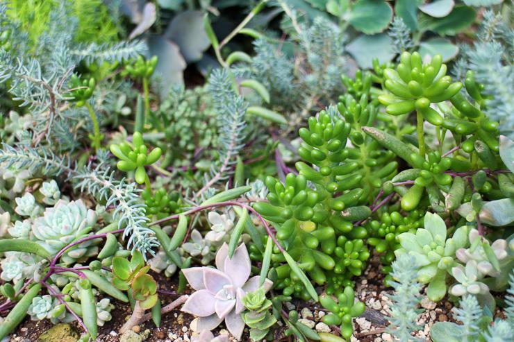 地植えの多肉植物