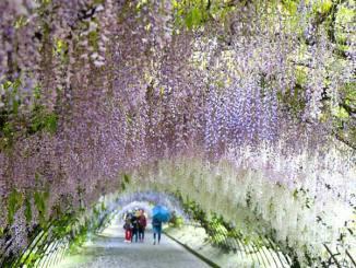 福岡県 河内藤園 Fukuoka Kawachi-Fuji-en