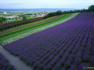 北海道 美瑛 富良野 ファーム富田 Hokkaido Furano Farm Tomita