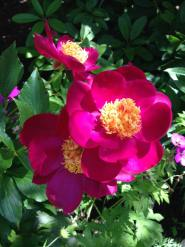 ブッチャートガーデンの花2