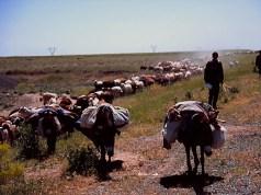 東トルコの草原でしばしば見かける
