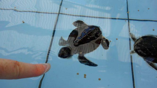 Blog voyage - Indonésie - Java ouest - Environs de Pangandaran et Batu Karas (hopital des tortues)
