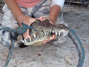 American Crocodile Education Sanctuary, Subadult American crocodile