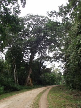 types of trees in the rainforest