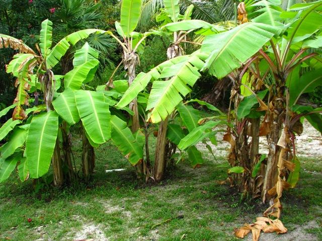 banana trees belize