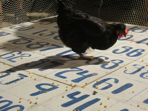 chicken drop san pedro belize