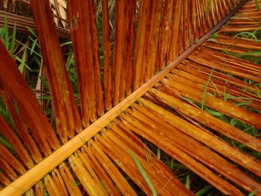 palm leaf belize