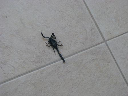 belize scorpion