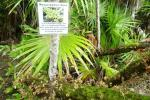resurrection fern ambergris caye belize