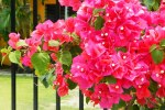 bougainvillea care
