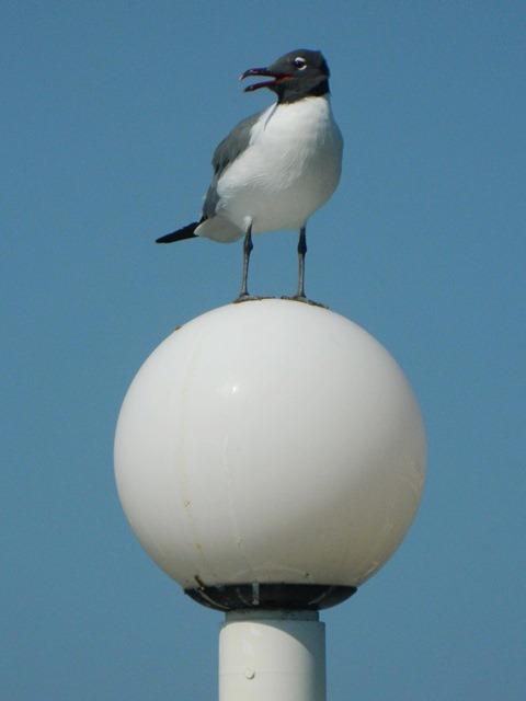 belize bird