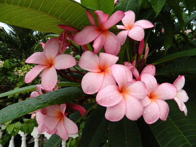 belize flowers